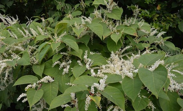 japenese-knotweed.jpg